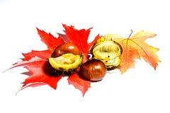 Herbstlaub mit den Kastanien lokalisiert auf weißem Hintergrund Stockbild