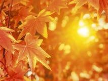 Herbstlaub mit Sonnenlichthintergrundahornblatt Lizenzfreies Stockfoto