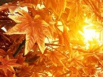 Herbstlaub mit Sonnenlichthintergrundahornblatt im Garten Stockfotos