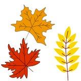 Herbstlaub oder Herbstlaubikonen Vektor lokalisierte Satz des Ahorns, der Eiche oder der Birke und des Ebereschenbaumblattes lizenzfreie abbildung
