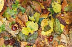 Herbstlaub und Conkers Stockfoto