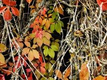 Herbstlaub und trockene Zweige des Efeus Stockfotografie