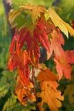 Herbstlaub von Acer-Zucker (Zuckerahorn oder Felsenahorn) Lizenzfreies Stockfoto
