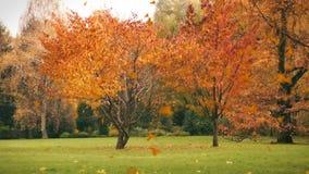 Herbstlaubfall auf das Gras, Hintergrund stock video