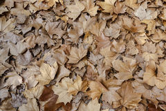 Herbstlaubhintergrundbeschaffenheit Ahornblatt-Art Lizenzfreie Stockfotografie