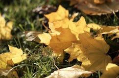 Herbstlaublüge aus den Grund Stockfotografie