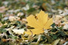 Herbstlaublüge aus den Grund Lizenzfreie Stockfotos