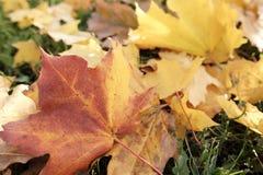 Herbstlaublüge aus den Grund Stockfotos