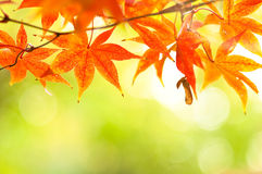 Herbstlich an den Japan-mable Blättern Lizenzfreies Stockfoto