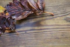 Herbstlich machen Sie schöne hölzerne Hintergrundbeschaffenheit des Blatt-, Roten und Gelbenahornlaubs, selektiven Fokus nass stockfoto