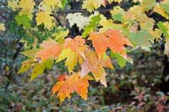 Herbstliche Ahornblätter Stockbild