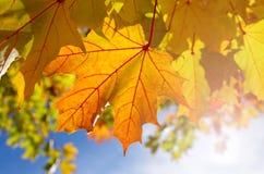 Herbstliche Ahornblätter im blauen Hintergrund Stockfotografie