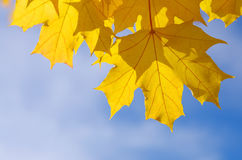 Herbstliche Ahornblätter im blauen Hintergrund Stockfotos