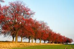 Herbstliche Ansicht der Gasse von Chokeberry Lizenzfreies Stockbild