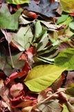 Herbstliche Blätter stockfotos