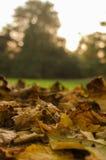 Herbstliche Blätter bei Sonnenuntergang Lizenzfreie Stockfotografie