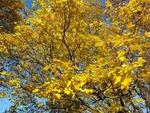 Herbstliche Blätter des Feldahorns, Acer-campestre Lizenzfreies Stockfoto