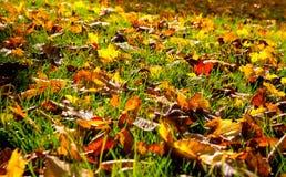 Herbstliche Blätter im Gras Stockbild