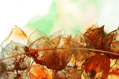 Herbstliche Dekoration mit verwittertem Physalis alkekengi im Rücklicht Stockbilder