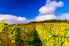 Herbstliche Farben von alsacien Weinberge, Frankreich Lizenzfreie Stockfotografie