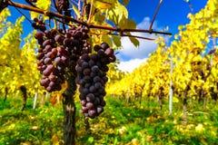 Herbstliche Farben von alsacien Weinberge, Frankreich Lizenzfreie Stockbilder
