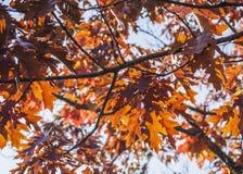 Herbstliche Farben von London - rote Blätter und glänzende Himmel stockbild