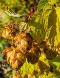 Herbstliche Hopfen Lizenzfreies Stockbild