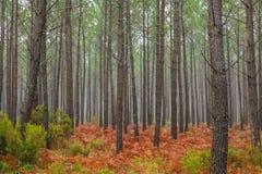 Herbstliche Koniferenwälder Lizenzfreie Stockfotos