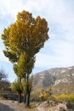 Herbstliche Pappeln Lizenzfreie Stockfotografie