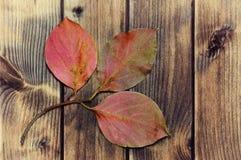 Herbstliche Persimone verlässt auf einem antiken hölzernen Hintergrund Stockfoto