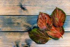 Herbstliche Persimone verlässt auf einem antiken hölzernen Hintergrund Stockfotografie