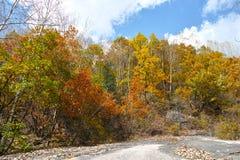 Herbstliche silberne Birken Lizenzfreie Stockbilder