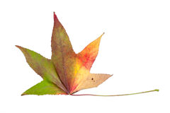 Herbstliche Verfärbung in den Spezies des Ahornbaums Stockfotografie