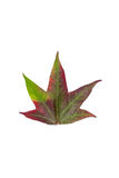 Herbstliche Verfärbung in den Spezies des Ahornbaums Lizenzfreie Stockbilder