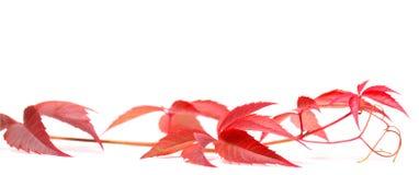 Herbstliche Virginia-Kriechpflanze auf Weiß lizenzfreie stockbilder