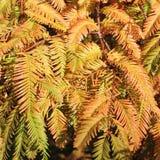 Herbstliche Zweige des Dämmerung-Rotholzes, Metasequoia Stockfotos