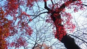 Herbstlicher Ahornholzbaum Stockbilder