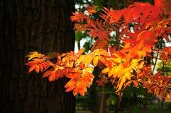 Herbstlicher Ebereschezweig Lizenzfreie Stockbilder