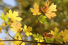 Herbstlicher Laubeindruck Stockfotografie