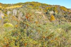 Herbstlicher Sanddorn Stockbild