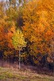 Herbstlicher Wald der Birke Lizenzfreies Stockfoto