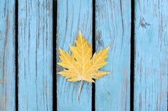 Herbstliches Ahornblatt auf blauem Hintergrund Stockfoto