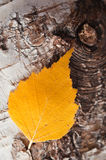 Herbstliches Birkenblatt Lizenzfreie Stockfotografie