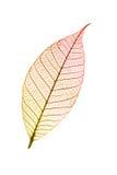 Herbstliches Blatt lokalisiert auf weißem Hintergrund Stockbilder