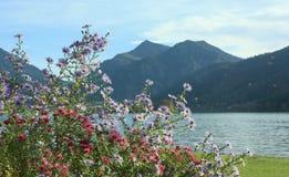 Herbstliches Blumenbeet mit alpiner Aster, See schliersee, Bayern Stockbilder