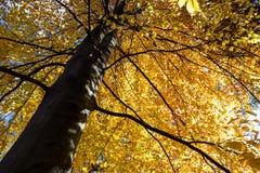 Herbstliches Buchenlaub Lizenzfreie Stockfotos