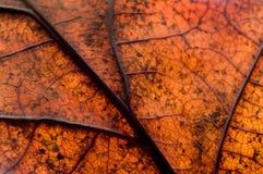 Herbstliches Eichen-Blatt Lizenzfreies Stockbild