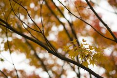Herbstliches Laub des dekorativen Ahornbaums Lizenzfreies Stockbild