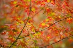 Herbstliches Laub des dekorativen Ahornbaums Lizenzfreie Stockbilder