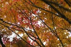 Herbstliches Laub des dekorativen Ahornbaums Stockfoto